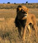 lion-big-cat_1002