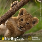 World Lion Day: Help Save Big Cats #5forBigCats